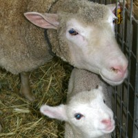 mom-and-daughter-sheep