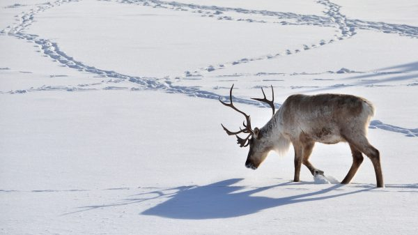 a reindeer walking in the snow, his shadow on the snow and footprints of other reindeer